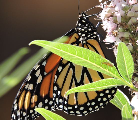 garden monarch on lupine closeup - 1