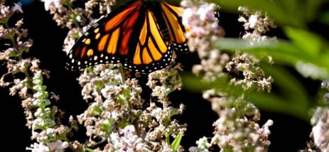 garden monarch on lupine full spread oct 17 - 1