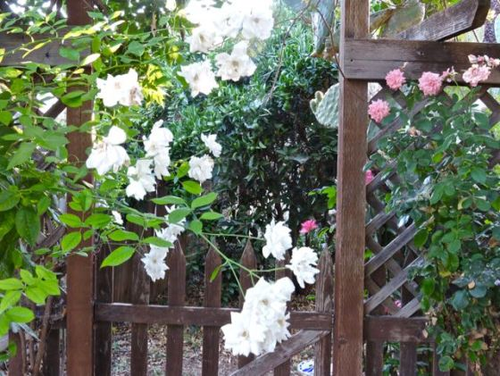 garden-side-gate-white-and-pink-roses-nopales-1