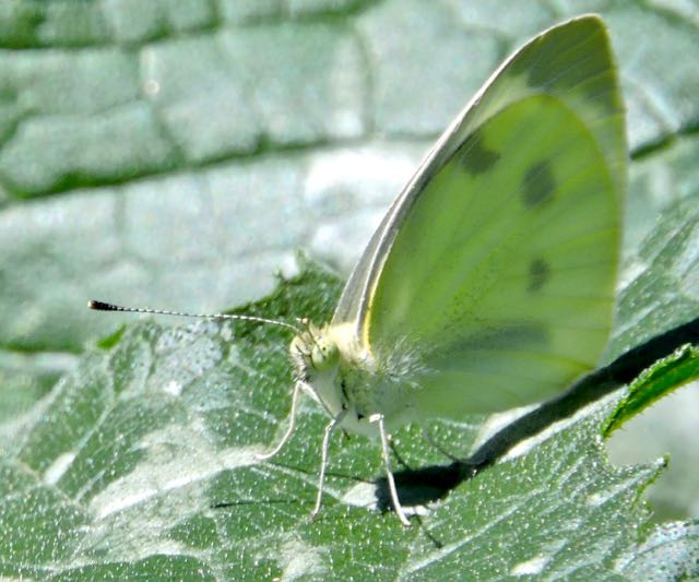 garden cabbage leaf butterfly on zucchini leaf - 1
