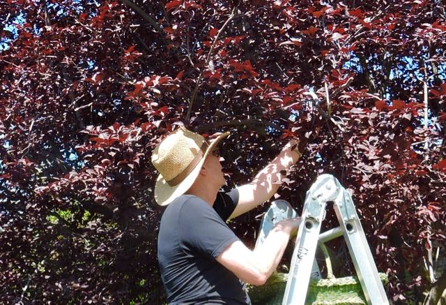 garden cherry plum plucking - 1