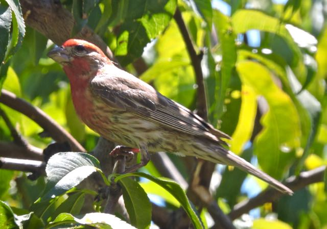 garden male house finch in peach tree - 1