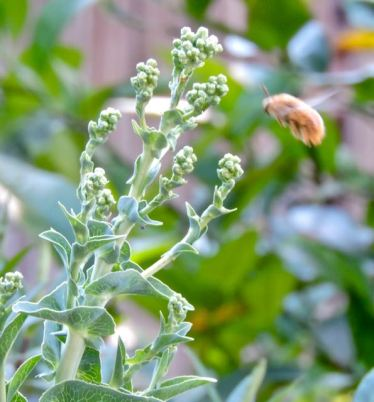 garden-green-ice-lettuce-flowers-and-bee-1