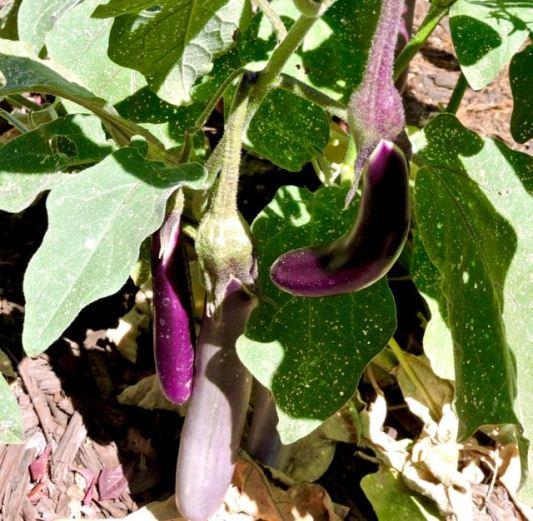 garden-japanese-eggplant-1-1