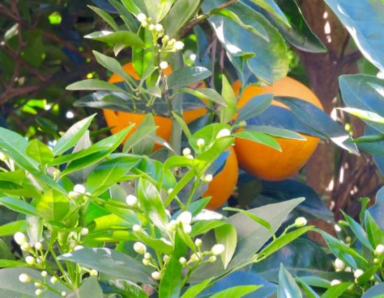 garden-new-orange-blossoms-with-current-crop-1