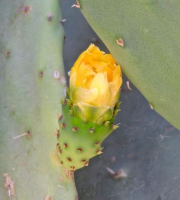garden-yellow-bloom-on-prickly-pear-tuna-1