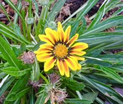 garden-yellow-gerbera-daisy-1
