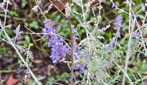 garden-russian-sage-in-pot-1