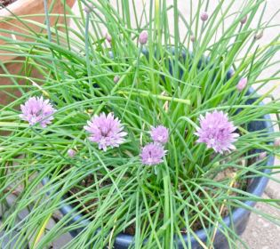 garden chives in bloom april 2017 - 1