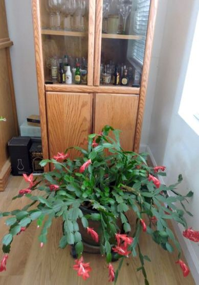 christmas-cactus-dining-room-1
