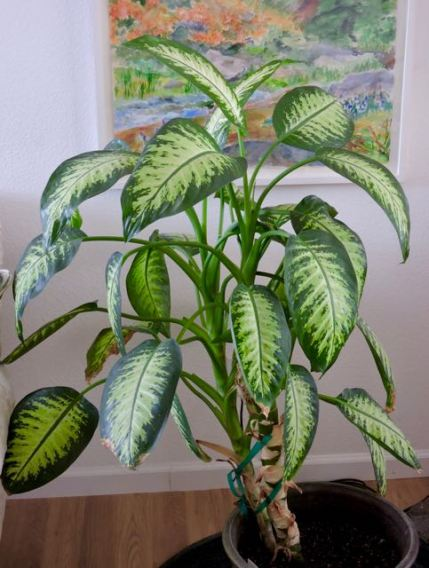 dieffenbachia-in-living-room-1
