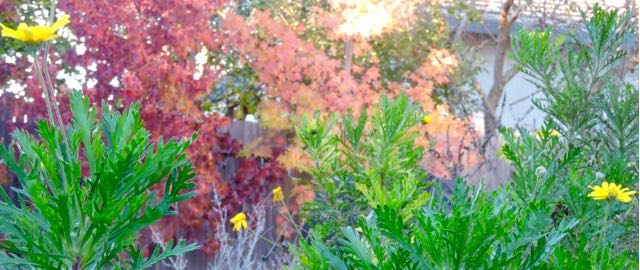 garden-late-november-coryopsis-and-trees-in-color-1