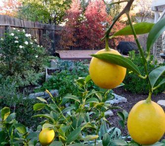 ripe Meyer lemons December