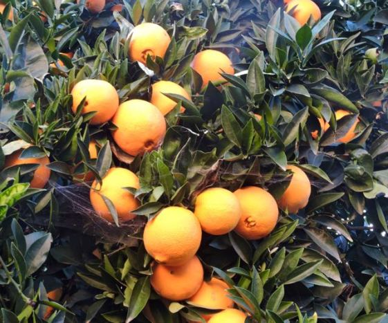 garden-orange-tree-december-1-1