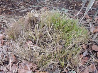 fountain grass trimmed