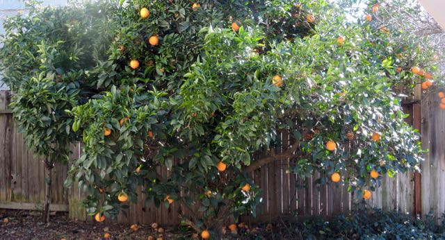 garden-orange-tree-in-january-1