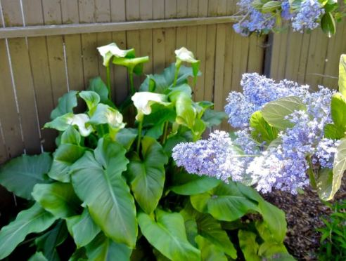 garden calla lilies and western lilac 1 - 1