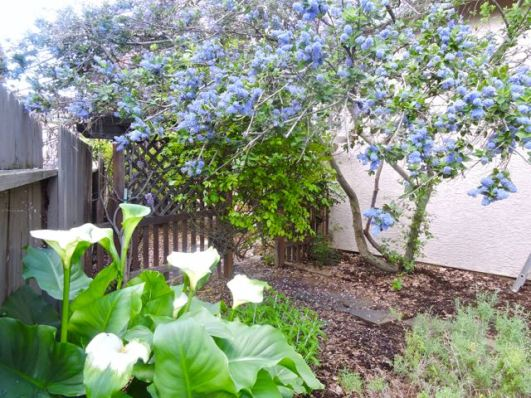 garden lilac tree and calla lillies April 2017 - 1