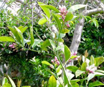 Meyer lemon buds April