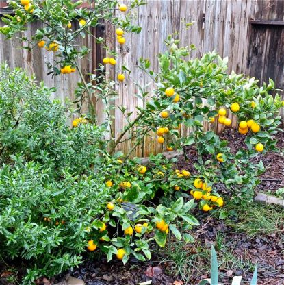 Meyer lemon bush January 2018