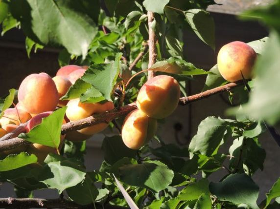 garden apricots ready to harvest late may - 1