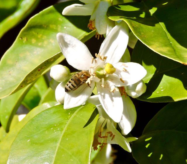 garden back honeybee in orange blossom april - 1