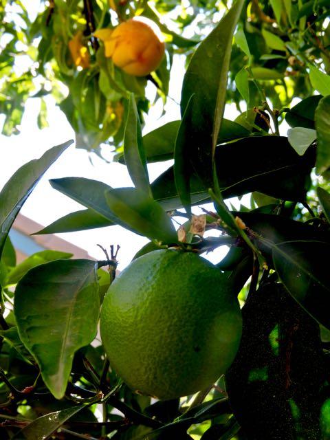 garden green orange with peach in back june - 1