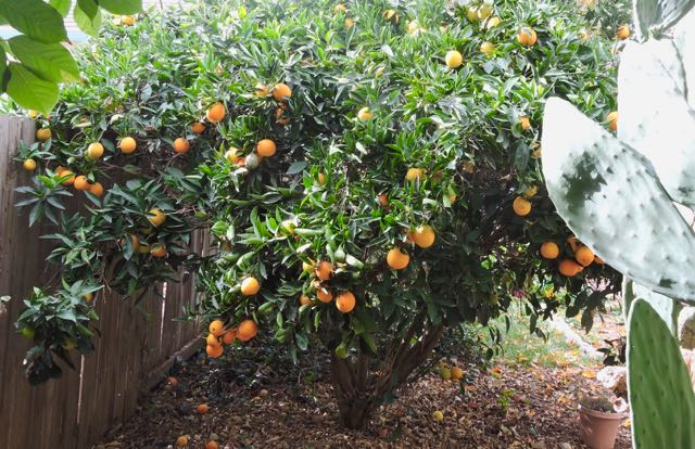 garden orange tree w nopales december - 1