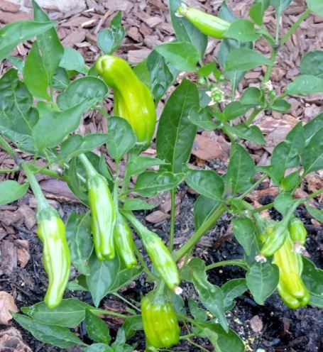 garden shishito pepper mid july 17 - 1