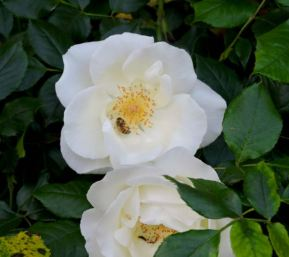garden bee in white rose back late Apr - 1