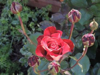 garden red rose bloom and multibuds - 1