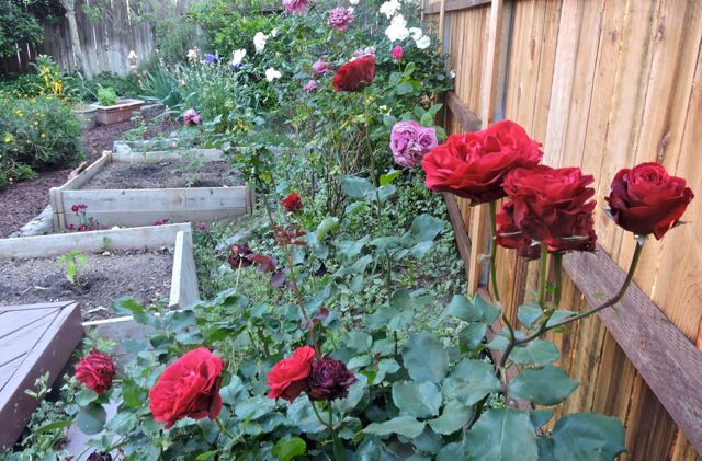 garden red white lavender roses and more may 1 - 1