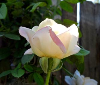 White peace rose
