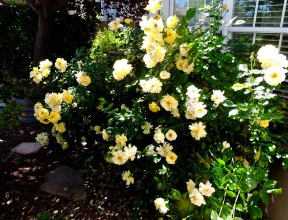 garden yellow roses in profusion may 17 - 1