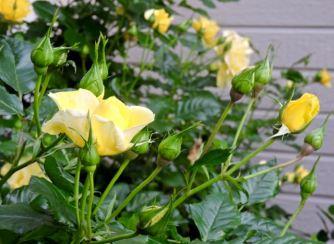 Yellow roses budding