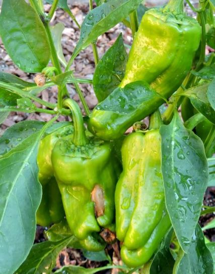 garden big bertha green peppers jul17 - 1