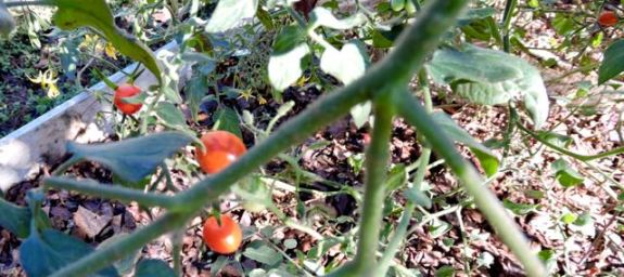 garden grape tomatoes and blooms mid november 17 - 1