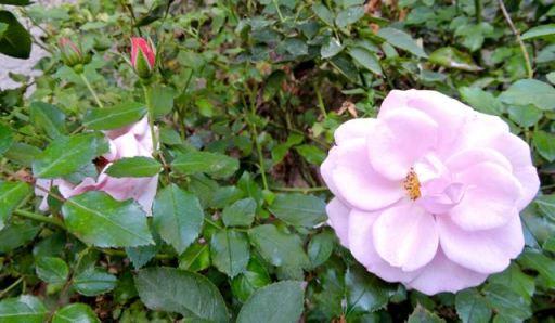 garden pink roses mid november 17 - 1