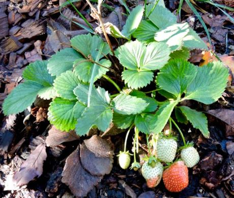 garden strawberry mid november 17 - 1