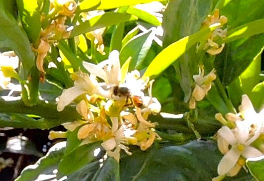 garden orange blossoms honeybee in sun apr 18 - 1
