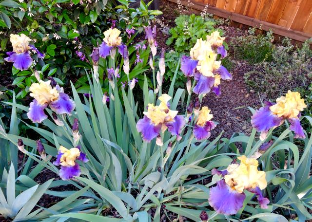 garden purple yellow iris display apr 18 - 1