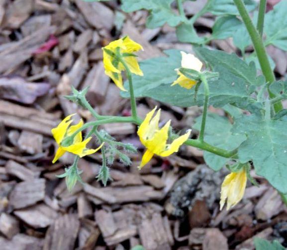 garden tomato flowers apr 18 - 1