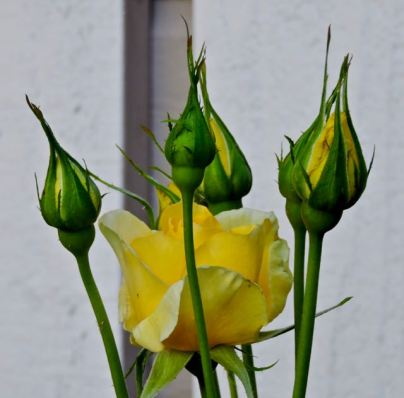 garden yellow rose in bloom and three buds apr 18 - 1